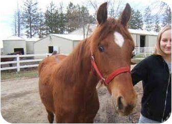 Missouri Foxtrotter Mix for adoption in Dewey, Illinois - Windcharmer