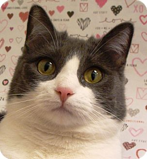 Domestic Shorthair Cat for adoption in Albany, New York - Nilla