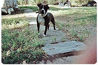 American Staffordshire Terrier/Boxer Mix Dog for adoption in Grand Prairie, Texas - Kenny