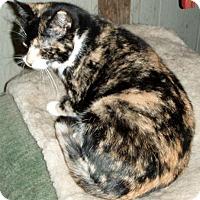 Calico Cat for adoption in Columbus, Ohio - Buttercup