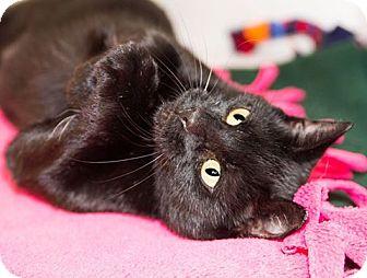 Domestic Shorthair Cat for adoption in Seville, Ohio - Joyce