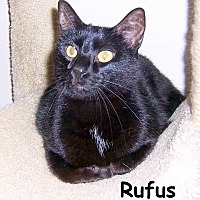 Domestic Shorthair Cat for adoption in Oklahoma City, Oklahoma - Rufus