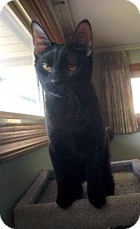 Domestic Shorthair Kitten for adoption in Frankfort, Illinois - Elliott & Olivia