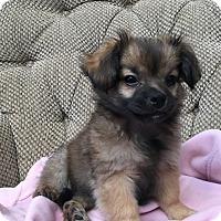 Adopt A Pet :: Gidget - Woodstock, GA