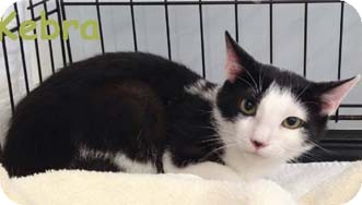 Domestic Shorthair Kitten for adoption in Merrifield, Virginia - Kebra