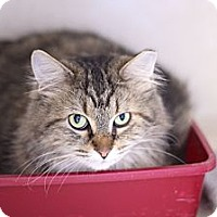 Adopt A Pet :: Countess Kitty - Chicago, IL