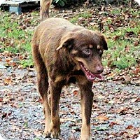 Adopt A Pet :: Boss - Naugatuck, CT