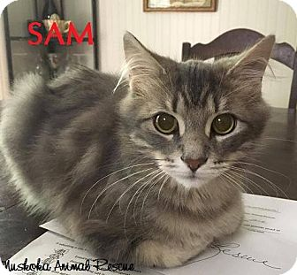 Domestic Mediumhair Kitten for adoption in Huntsville, Ontario - Sam - Adopted December 2016