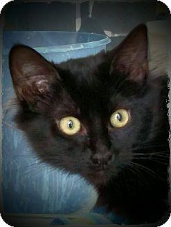 Domestic Mediumhair Kitten for adoption in Pueblo West, Colorado - Oriana