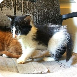 Domestic Mediumhair Kitten for adoption in Austin, Texas - Albrecht