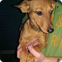 Adopt A Pet :: Little Cookie - Pompton Lakes, NJ