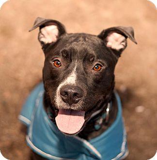 Labrador Retriever/Pit Bull Terrier Mix Dog for adoption in Acushnet, Massachusetts - Bud-E