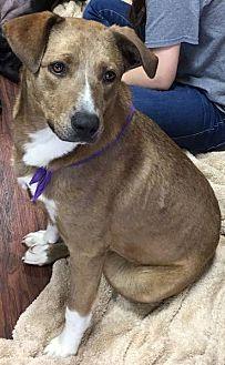 Catahoula Leopard Dog/Labrador Retriever Mix Dog for adoption in Kaufman, Texas - Buttercup