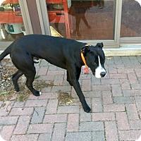 Adopt A Pet :: Domino - Munster, IN