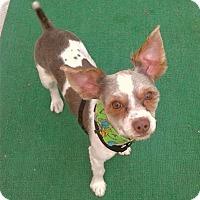 Adopt A Pet :: Gizmo - call (786) 239-9003 - Miami, FL