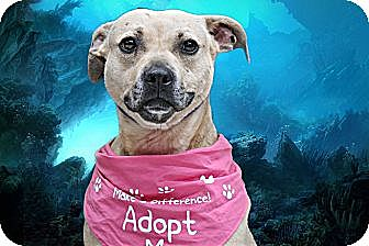 American Staffordshire Terrier Mix Dog for adoption in Livonia, Michigan - Chata - Needs a Foster Home
