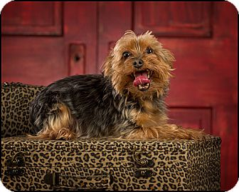 Yorkie, Yorkshire Terrier Dog for adoption in Owensboro, Kentucky - Little Man