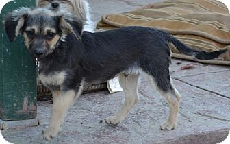 Poodle (Miniature)/Terrier (Unknown Type, Small) Mix Dog for adoption in Simi Valley, California - Stormy