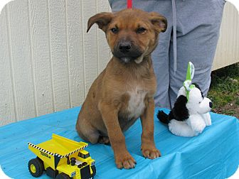 Feist/Australian Cattle Dog Mix Puppy for adoption in Humboldt, Tennessee - Pitch