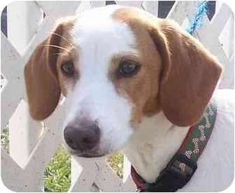 Beagle/Basset Hound Mix Puppy for adoption in Ft. Pierce, Florida - Honey 2
