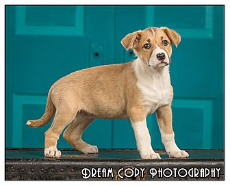 Shepherd (Unknown Type)/Boxer Mix Puppy for adoption in Owensboro, Kentucky - Macaroni