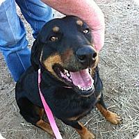 Adopt A Pet :: Sheba - Kaufman, TX