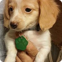 Adopt A Pet :: Rudy - Golden Valley, AZ
