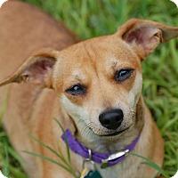 Adopt A Pet :: Tanzy - Austin, TX