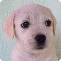 Adopt A Pet :: Liam - La Costa, CA