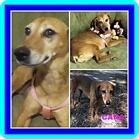 Adopt A Pet :: CARA - Malvern, AR