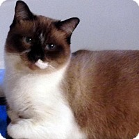Siamese Cat for adoption in Alvin, Texas - Bentley