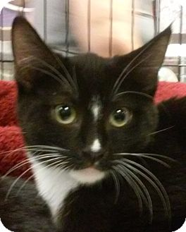 Domestic Mediumhair Cat for adoption in Yorba Linda, California - Heart
