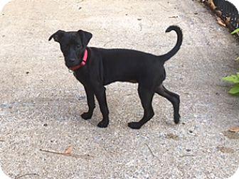Chihuahua/Miniature Pinscher Mix Puppy for adoption in Allentown, Pennsylvania - Tabby (ETAA)
