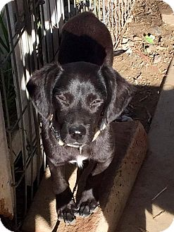 Labrador Retriever Mix Puppy for adoption in BONITA, California - Monkey