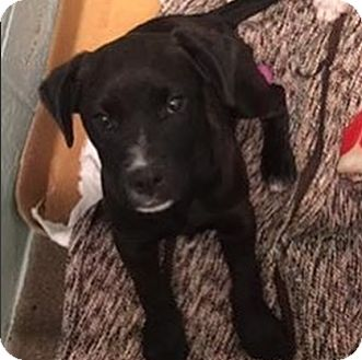Border Collie Mix Puppy for adoption in Pompton Lakes, New Jersey - Belle