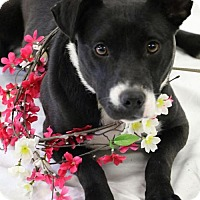 Labrador Retriever/Labrador Retriever Mix Dog for adoption in Canton, Connecticut - Missy