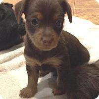Adopt A Pet :: Dexter - North Richland Hills, TX
