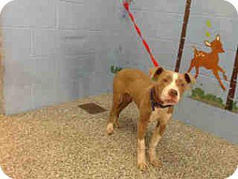 Pit Bull Terrier Puppy for adoption in San Bernardino, California - URGENT ON 4/20  San Bernardino