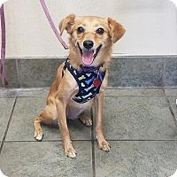 Adopt A Pet :: Goldie - Austin, TX