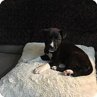 Adopt A Pet :: Haben - McKinney, TX