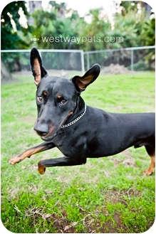Doberman Pinscher Mix Dog for adoption in Santee, California - Ranger