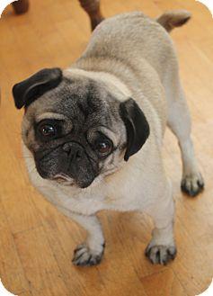 Pug Dog for adoption in Eagle, Idaho - Bandit