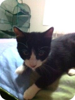 Domestic Mediumhair Kitten for adoption in Huntsville, Ontario - Baron - Born in August!