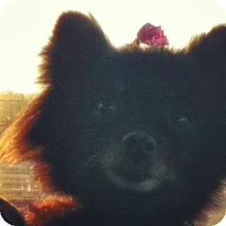 Pomeranian Dog for adoption in Shirley, New York - Baby