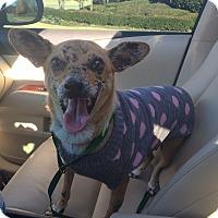 Adopt A Pet :: Phoebe - Homewood, AL