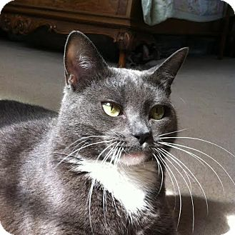 Russian Blue Cat for adoption in Buford, Georgia - Grace-$35.00