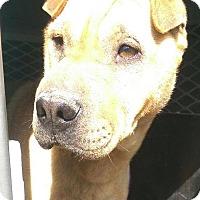Adopt A Pet :: Honey - pending - Mira Loma, CA