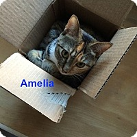 Domestic Shorthair Kitten for adoption in New York, New York - Amelia