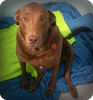 Labrador Retriever Mix Dog for adoption in Muskegon, Michigan - Harry