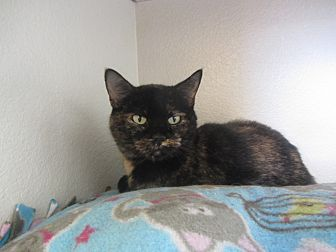 Domestic Shorthair Cat for adoption in Ridgway, Colorado - Caprice